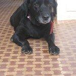 Labrador Retriever (Na-)Tasha, everybody's darling