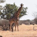 Giraffen auf Kuzikus