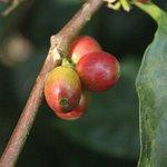 ripe coffee beans- the coffee walk