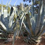 Amazing cacti in the grounds