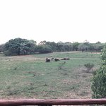 View from terrace of Buffalo grazing