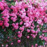Lovely Rose At Moss Brook B&B.