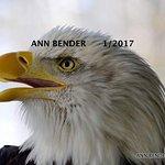 Bald eagle at VINS
