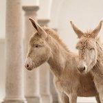 Weiße Esel - Barockstall  (c) Friederike Scheytt für SKB