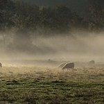 The sheep on our fields in the early morning mist - Rawcliffe House Farm
