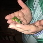 red eyed tree frog on night tour