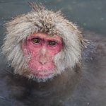 Monkey soaking in the hot spring