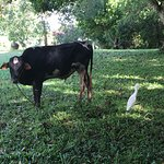 By each cow was a little heron, ready to pick and eat the flies