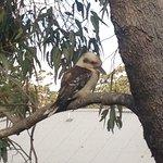 Kookabura sitting in tree next to Balcony