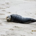 Seehund gestrandet