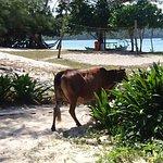 cows on the beach! crazy!