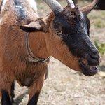 La chèvre Mouchette