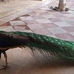 Peacock in shopping center