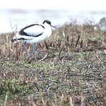 Avocet at a distance.