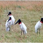 10 Jabiru´s together