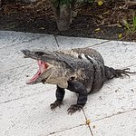 Many different wildlife on the propery - this Iguana is yawning