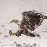 White tailed sea eagle beside the boat