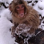 Cute snow monkey, they let you get quite close
