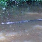 Crocodiles and pythons