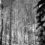 Gorgeous beauty of the aspens in the snow