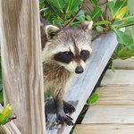 our friendly raccoon patron
