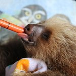 Baby Sloth being delicately fed with a syringe.