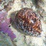 Underwater shot -Cowrie shell