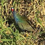 Purple Gallinule or Swamp Hen Blue Cypress Lake Stumpknockers Tour