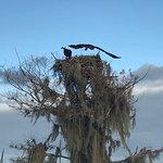 Mating Osprey on Cypress Tree Nest on Stumpknockers Tour