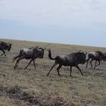Wildebeest run from our jeep