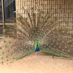 """Kevin"" the greeter peacock"