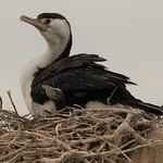 Cormorant and chick