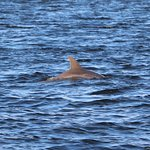 A dolphin in the St. Johns River, as seen from the Ft Caroline N.M. boat dock in Jacksonville