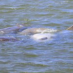 Manatees in the St. Johns River, as seen from the Ft Caroline N.M. boat dock in Jacksonville