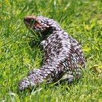 A Bobtail Skinkg - Slow and Harmless