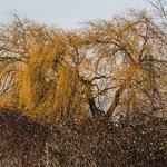 Willow trees in winter