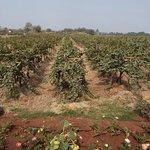 Sula vineyard