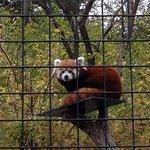 Darling Red Panda