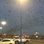 10's of thousands of birds roost in the parking lot