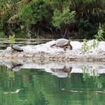 Turtles on the Devils River
