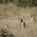 Lions in Nairobi NP