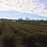 Charleston Tea Plantation Foto
