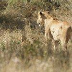 Lionne et Lionceau,
