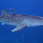 whale shark under the boat
