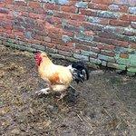 Proud cockerel specimen who struts around the farm yard
