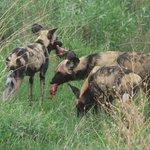Wildhunde beim Verspeisen eines Impalas