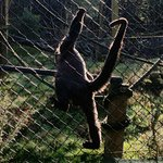 Woolly monkeys with their incredible tails.