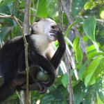 White face monkey eating in the tree top