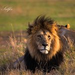 Live aus der Mara ... Morgenpirsch 10.01.2017 ... WLAN im Governors Camp ist top