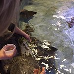 Feeding rays in the touch tank.